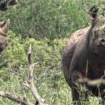 Híres lett a Ramat Gan szafaripark vízilova – Orrszarvút mentett ki a vízből