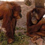 A Ramat Gan Safari állatai már pészachi finomságokkal hangolódnak az ünnepre