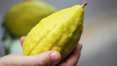 Egy fantasztikus gyümölcs, Szukkot gyémántja: az Etrog (אתרוג)
