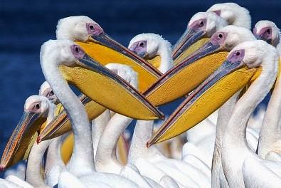 Idén is igazi Sulchán Áruch várja az Izraelbe érkező pelikánokat