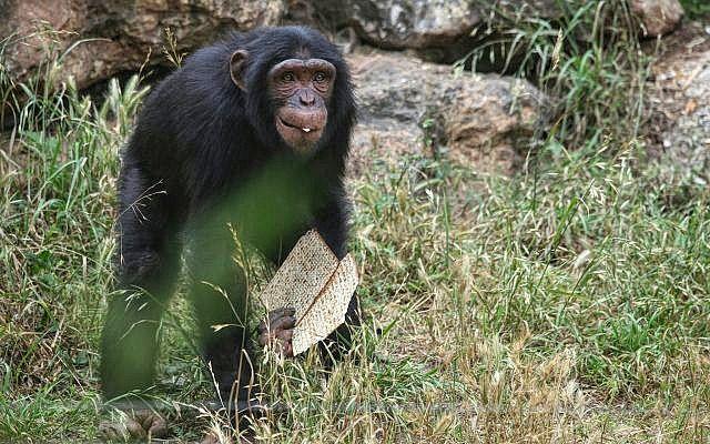 A Ramat Gan Safari állatai már az este beköszöntő Pészachra hangolódnak