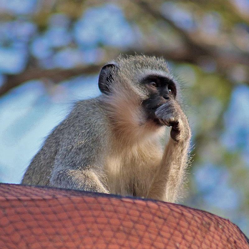 Egy izraeli kutatás szerint a majmok ugyanúgy gondolkodnak, mint az emberek